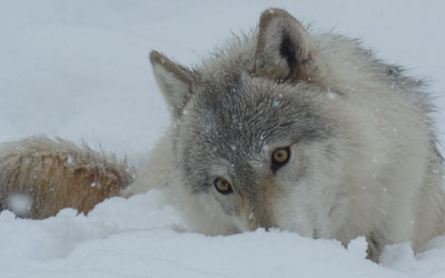 Wolves Visit Purgatory