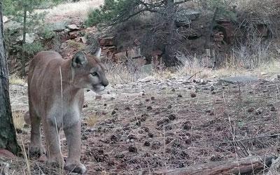 Mountain Lions Among Us
